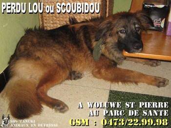 Perdu Lou ou Scoubidou X Malinous Border collie couleur feu sur Woluwé St Pierre