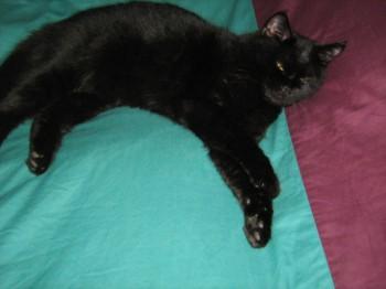 Perdue LEILA petite chatte noire 14 mois à Havelange Belgique