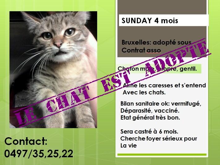 Sunday magnifique chaton de 4 mois a l'adoption sur Bruxelles