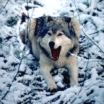 Loup à plat dans la neige