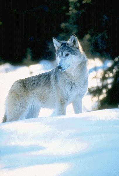 Un autre loup dans la neige