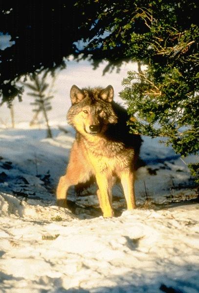 Le loup dans la neige