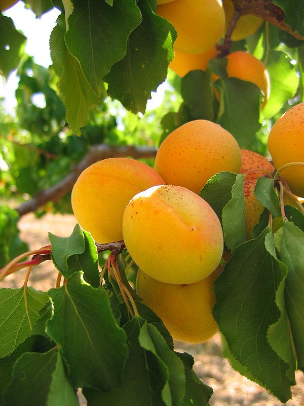 Confiture Abricots, Vanille Bourbon et Quelques Nectarines qui passaient par là...