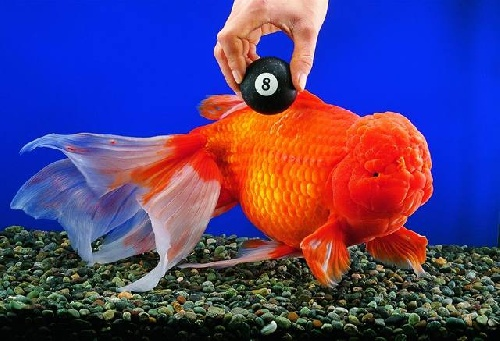 world's largest gold fish