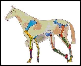 Comparaison squelette homme/cheval