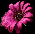 Belles Fleurs