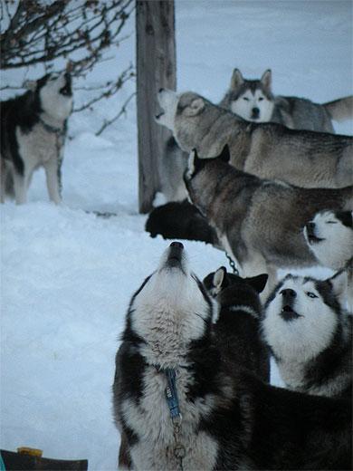 Les chiens de traineau